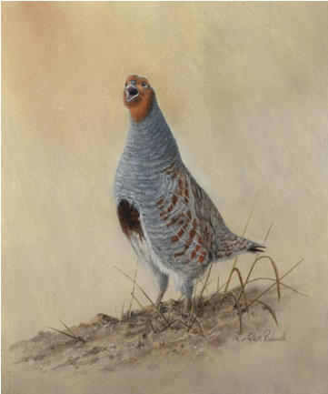 English Partridge Study