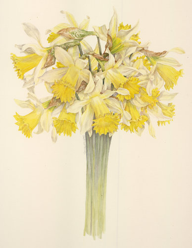 Bunch Of Daffodills